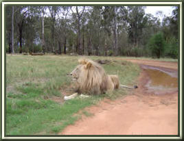 Male Lion at the Lion Park.